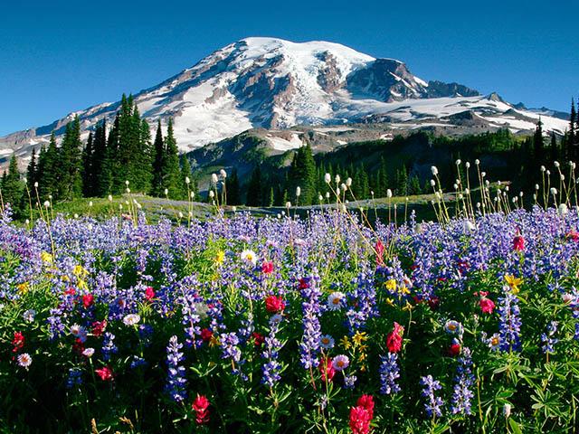 Paradise, Mt. Rainier 1