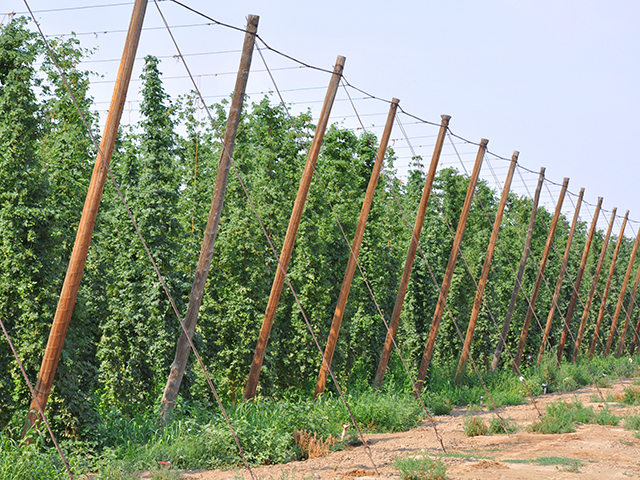 Hops are a primary crop