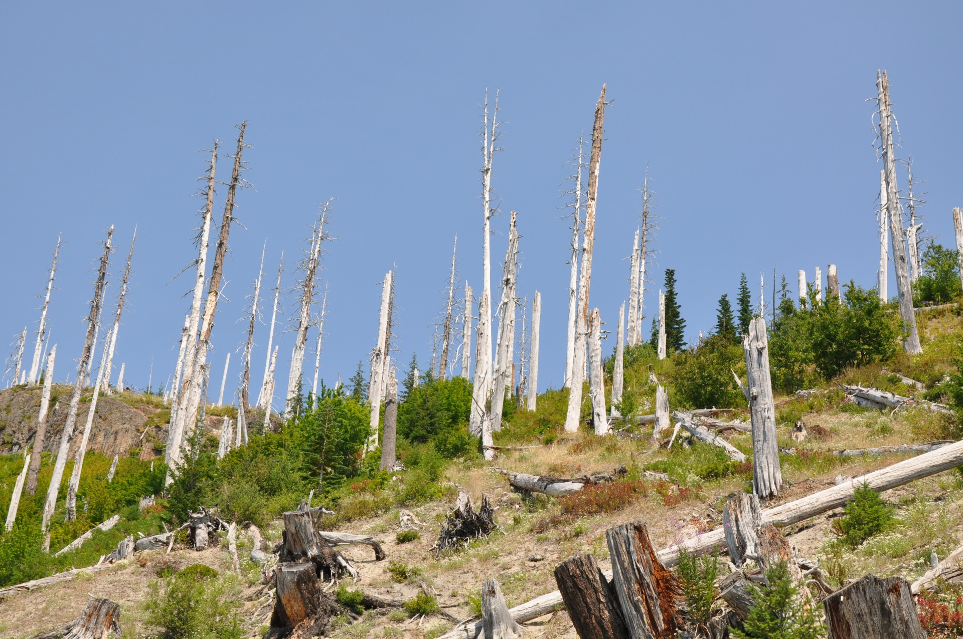 Standing Dead Forest at Windy Ridge